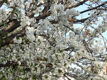 山桜(やまざくら) 散策路 210324撮影 1250