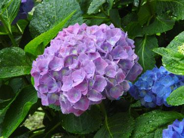 紫陽花(アジサイ) 散策路 180609撮影 375