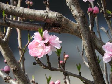 桃の花(もものはな) 散策路 190322撮影 652