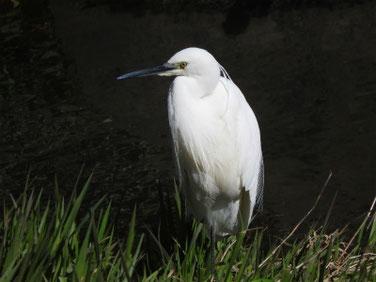 小鷺 散策路河川 200311撮影 477