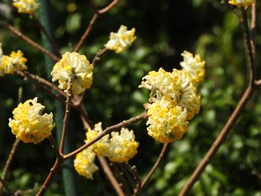 三椏の花(みつまた)散策路公園 190312撮影 613