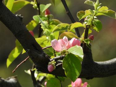 花梨の花(かりんのはな) 散策路 210331撮影 1281