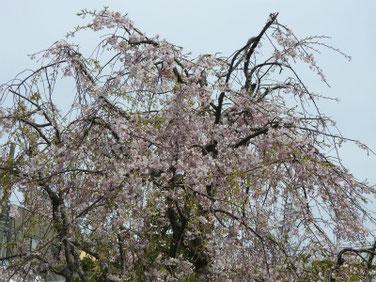 しだれ桜 散策路公園 190414撮影 722