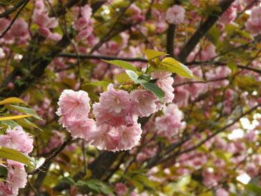 八重桜(やえざくら) 散策路 210406撮影 1293