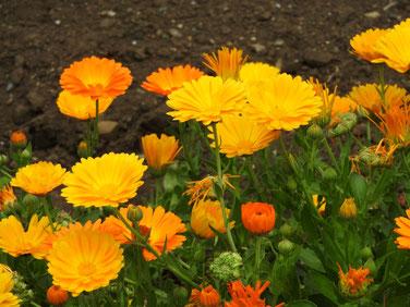 金盞花(きんせんか) 散策路 180423撮影 472