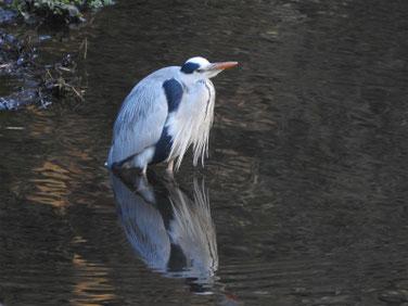 青鷺(あおさぎ) 散策路河川 210131撮影 591