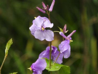 紫花菜(むらさきはなな)親水緑道 190331撮影 686