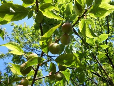 梅の実(うめ)マクロ 210502撮影 1360