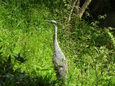 青鷺(あおさぎ) 親水公園 200424撮影 496