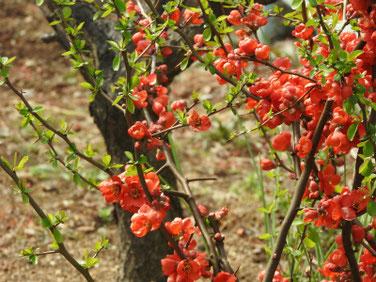 木瓜の花(ぼけのはな) 親水緑道 210304撮影 1211