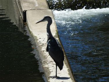 青鷺(あおさぎ) 散策路河川 190810撮影 366