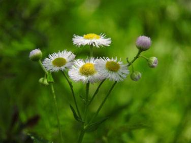 春紫苑(はるじおん) 散策路 170504撮影 236