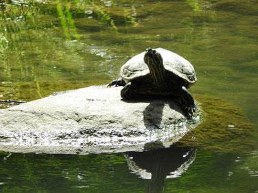 アカミミガメ 親水公園の池 200513撮影 506