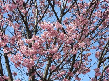 陽光桜(ようこうざくら)散策路公園200315撮影 981