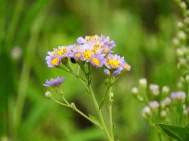 紫苑(しおん) 散策路 170925撮影 152