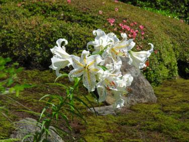 百合の花(ゆり) 海蔵寺 180608撮影 352