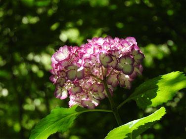 紫陽花 明月院 160602撮影 12