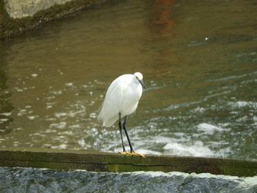 小鷺(こさぎ) 散策路河川 201003撮影 551