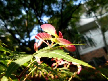 楓の翼果(カエデのよくか)マクロ210428撮影  1346