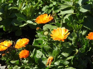 金盞花(きんせんか) 散策路 190305撮影 591