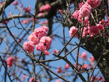 花桃の花(はなもも) 散策路 190312撮影 611