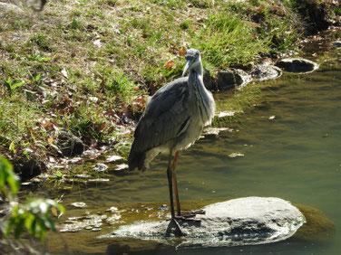 青鷺(あおさぎ) 親水公園 190320撮影 299