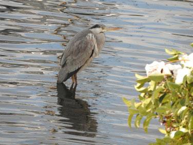 青鷺(あおさぎ) 雪の散策路河川 180123撮影 134