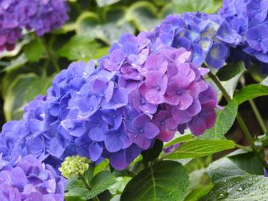 紫陽花(アジサイ) 散策路 180609撮影 376