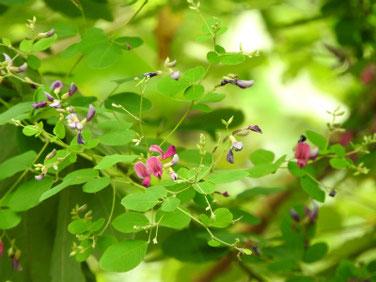 萩の花(はぎ) 散策路 210908撮影 509