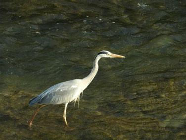 青鷺(あおさぎ) 親水公園 180516撮影 183
