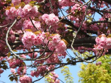 八重桜(やえざくら) 散策路 190420撮影 771