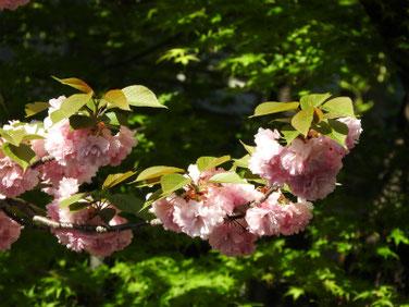 八重桜(やえざくら) 散策路 210411撮影 1327
