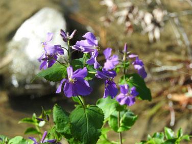 紫花菜(むらさきはなな)親水緑道 200311撮影 954