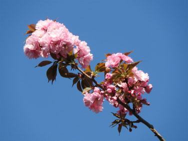 八重桜 散策路 170420撮影 198