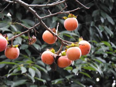 柿の実(かき) 散策路 181015撮影 257