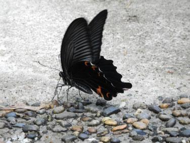 黒揚羽蝶(くろあげはちょう)散策路 180609撮影 193