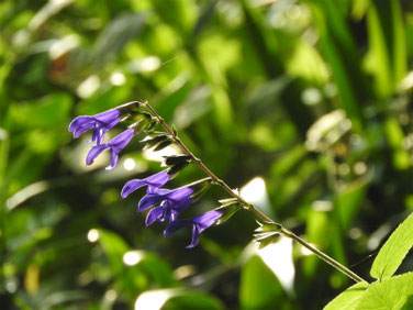 青紫ハーブセージ 散策路 190729撮影 641
