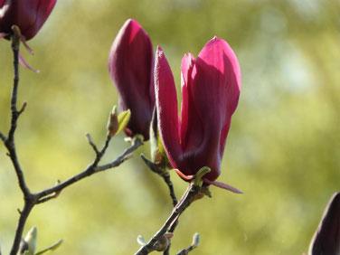 紫木蓮(しもくれん) 散策路 180331撮影 410
