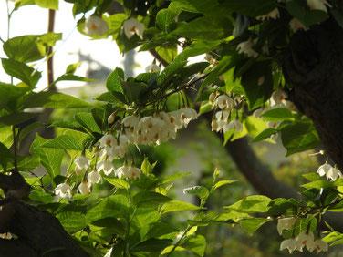 萵苣の木(ちしゃのき)エゴノキ マクロ190511撮影 861