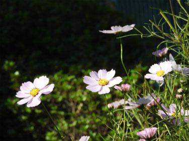 秋桜(コスモス) 散策路 161105撮影 62