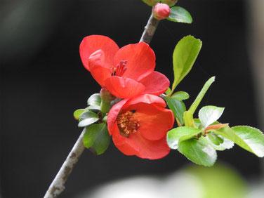木瓜の花 散策路 170325撮影 138