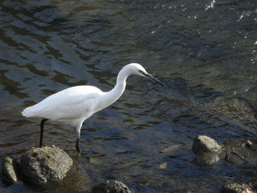 小鷺(こさぎ) 散策路河川 181207撮影 250