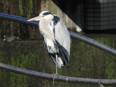 青鷺(あおさぎ) 散策路河川 161112撮影 22