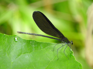 羽黒蜻蛉(はぐろとんぼ)散策路池 180708撮影 203