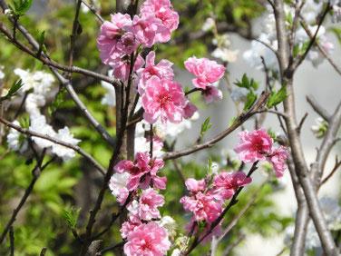 桃の花(もものはな) 散策路 210331撮影 1290