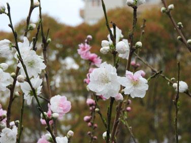 桃の花(もも)白 散策路 200327撮影 1022