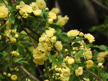 木香薔薇(もっこうばら)黄色 散策路180412撮影 443