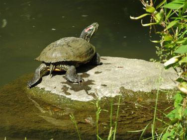 アカミミガメ 親水公園の池 200513撮影 505