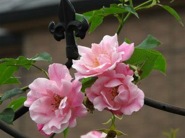 薔薇 散策路 160527撮影 86