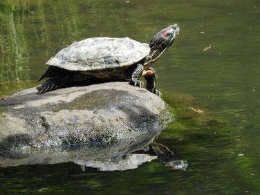 アカミミガメ 散策路親水公園池 190503撮影 326